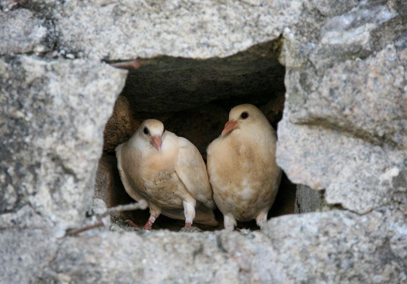 Charleston Doves