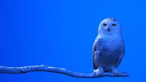 Robert Wilson : Snow Owl, 2006